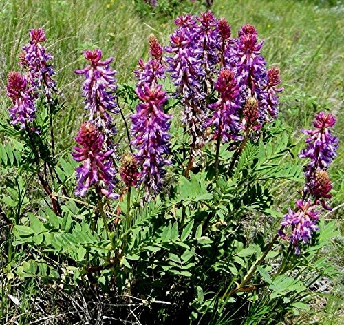Milk Vetch Two-grooved Astragalus bisulcatus groundcover Perennial 50 Seeds