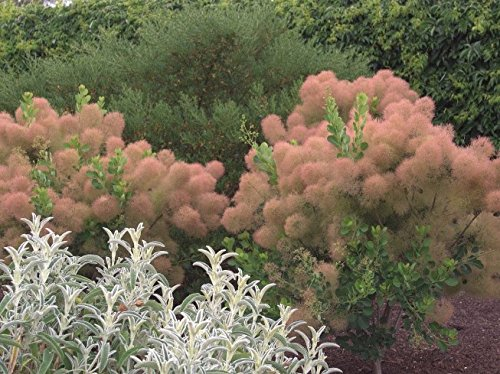 smokebush Quart Pot - Live Plant Young Lady Pink Smoke Tree