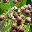 Set of 25 Individual Seed Packet Favors, Common Milkweed \