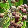 Set of 25 Individual Seed Packet Favors, Common Milkweed \