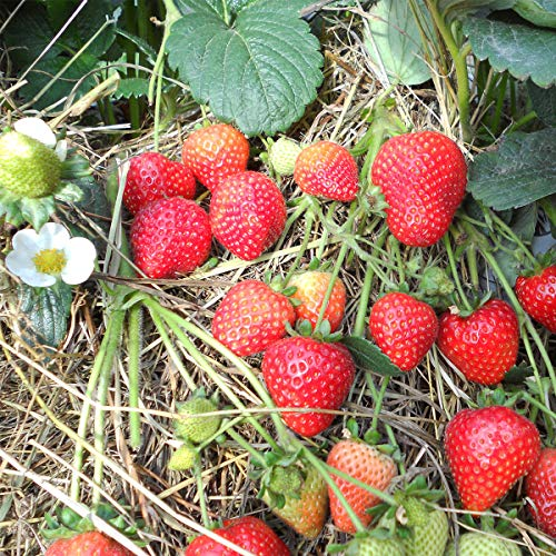 Burpee 'Sweet Kiss' Ever-Bearing Strawberry shipped as 25 BARE ROOT PLANTS by Burpee (Image #2)