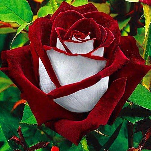SOOGGI 20粒 オーラシア ローズの種 きれいに咲く 植物種子 花 有機 観葉植物 高い発芽率 簡単な栽培 ホームガーデンの装飾