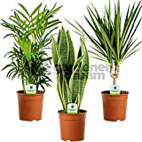 Indoor Plant Mix - 3 Plants - House / Office Live Potted Pot Plant Tree (Mix D - Sansevieria Laurentii, Chamaedorea Elegans & Dracaena Marginata)