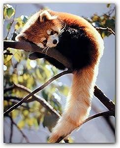 Red Panda Sitting on a Tree Wildlife Wall Decor Animal Art Print Poster (16x20)