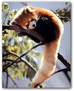 ANIMAL PHOTO RED PANDA BEAR-CAT WALL ART PRINT PICTURE POSTER HP2647