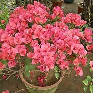 10 * Mezcla de color Bougainvillea spectabilis Willd Semillas Semillas de plantas de flor de Bonsai