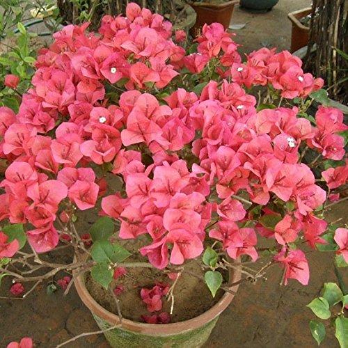 10 * Mix-color Bougainvillea Spectabilis Willd Seeds Bonsai Flower Plant Seeds SVI
