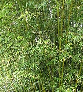Bambusa bambos GIANT THORNY BAMBOO Seeds!