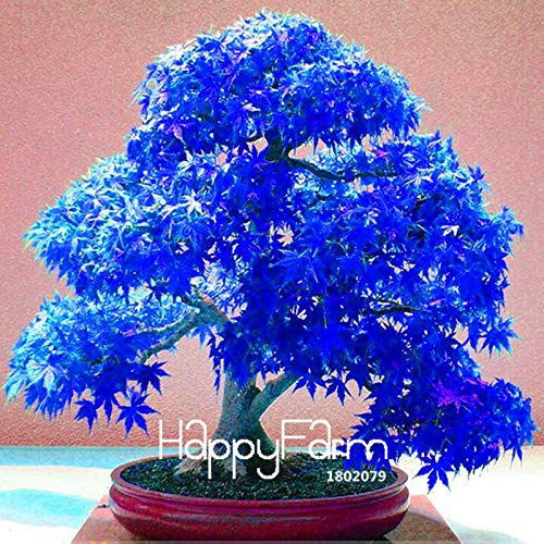 Garden Perennial Flowers Bonsai Tree Flowering Lowest Price! 20 Pcs/Lot Real Japanese Ghost Blue Maple Plantas Rare Balcony Bonsai Tree Plants for Home Garden