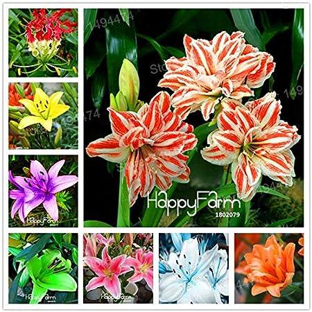 Amazon Com Lili Aldridge Fragrance Home Mixed Color Lily Plants