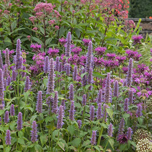 Outsidepride Anise Hyssop Herb Plant Seed 5000 Seeds