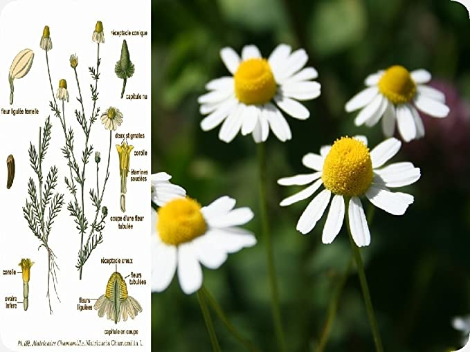 12000 Graines Camomille Sauvage //Matricaria Chamomilla// Herb Aromatique