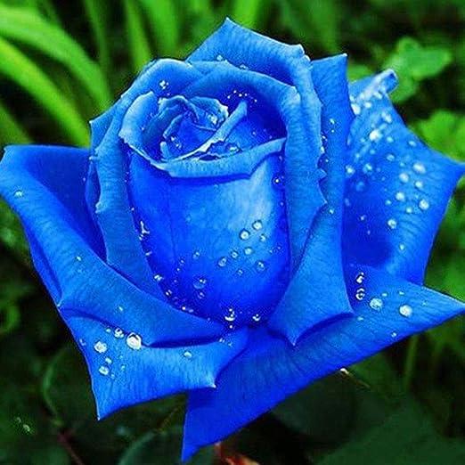 100 pezzi Rosepoem Seme di semi di rosa in vaso di semi di piante rosa blu