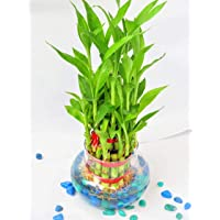 Prime Green 2 Layer Lucky Bamboo Plant with Big Round Glass Pot with Color Jelly/Crystal Ball