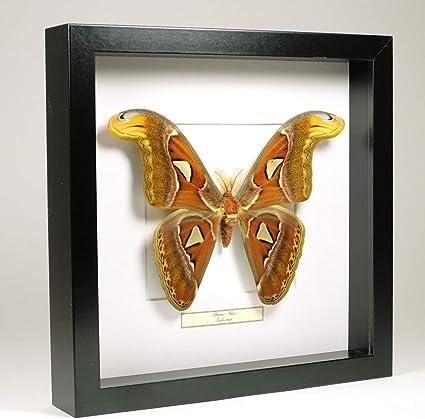 Papilio ulysses Cadre Véritable Papillon décoration,cadeau,,taxidermie