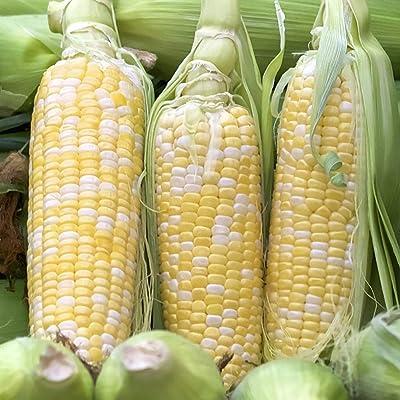 scgtpapadc Sweet Waxy Corn Seeds, 230Pcs Sweet Waxy Corn Seeds Healthy Easy Grow Vegetable Farm Yard Garden Plants, Flower Seeds Plant Seeds Corn Seeds: Sports & Outdoors