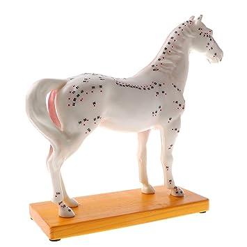 Homyl Pferd Akupunktur Anatomisches Modell mit 114 Akupunkturpunkten ...
