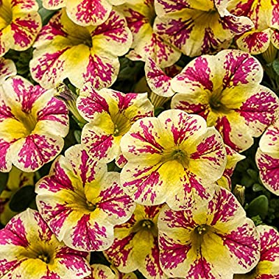 Superbells Premium Annual Plants (4-Pack), Calibrachoa Hybrid, Holy Moly Color, 4.33
