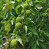 Chrisman Mill Farms Osage Oranges (Hedge Apples), Pkg. of 4