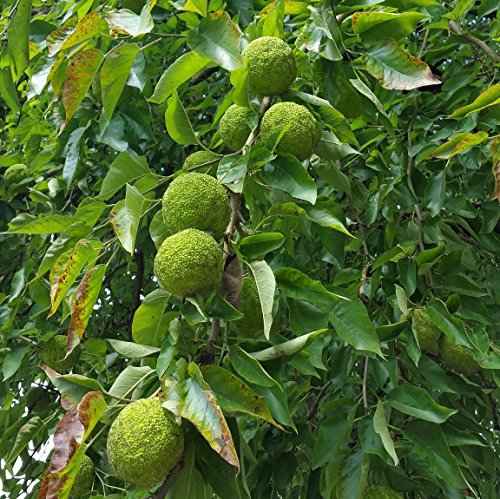 Pkg Farm (Chrisman Mill Farms Osage Oranges (Hedge Apples), Pkg. of 12)