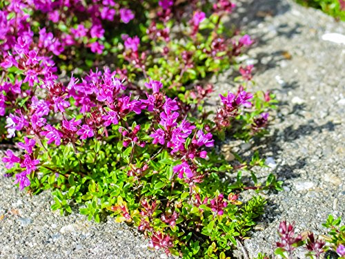 10,000 Creeping Thyme Ground Cover Herb Seeds - Breckland Thyme, Wild Thyme, Thymus Serpyllum - by RDR Seeds