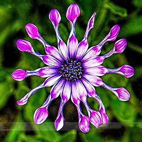 ADB Inc DD Purple Chrysanthemum Seeds Rare Heirloom Flower 'Power Spider'