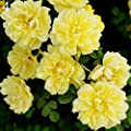 LOadSEcr's Garden 100 Pcs Climbing Rose Seeds Non-GMO Ornamental Plants Yard Office Decoration, Open Pollinated Seeds