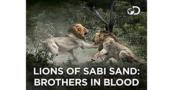 the lions of sabi sand brothers in blood download