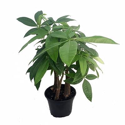 "Stylized Money Tree Plant - Pachira aquatica - 6"" Pot - Easy to Grow House Plant: Toys & Games"