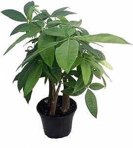 Stylized Money Tree Plant - Pachira aquatica - 6