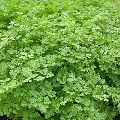 Herb Seed: Curled Chervil Seeds Fresh Seed