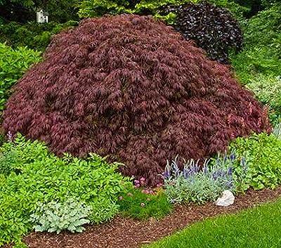 CRIMSON QUEEN WEEPING LACE LEAF JAPANESE MAPLE - Acer palmatum dissectum 'Crimson Queen' 2 - YEAR PLANT