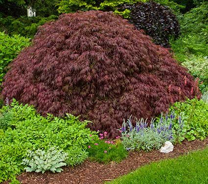(CRIMSON QUEEN WEEPING LACE LEAF JAPANESE MAPLE - Acer palmatum dissectum 'Crimson Queen' 2 - YEAR PLANT)