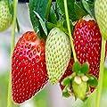 Ozark Everbearing 10 Live Strawberry Plants, Non GMO,