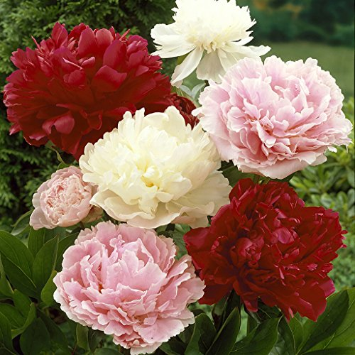 Van Zyverden Peonies Mixed Colors Set of 3 Roots by VAN ZYVERDEN