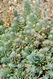 Sedum reflexum 'Blue Spruce' Stonecrop Live Plant