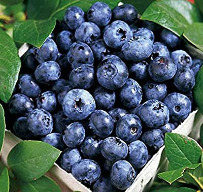 Blue Ray Blueberry Bush - Edible Fruit Berry - Hardy Perenial - Qt Pot - 1 plant by Growers Solution