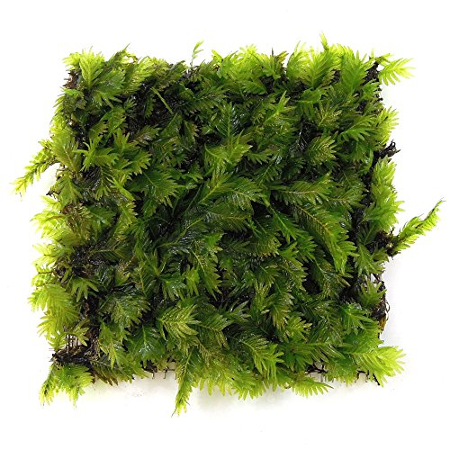 SubstrateSource Fissidens nobilis Moss Mat Live Freshwater Aquatic Aquarium Plant by SubstrateSource