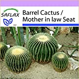 SAFLAX - Barrel Cactus / Mother in law Seat - 40 seeds - Echinocactus grusonii