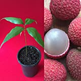 Lychee Potted Starter PLANT Tropical Fruit Tree Litchi Seedling