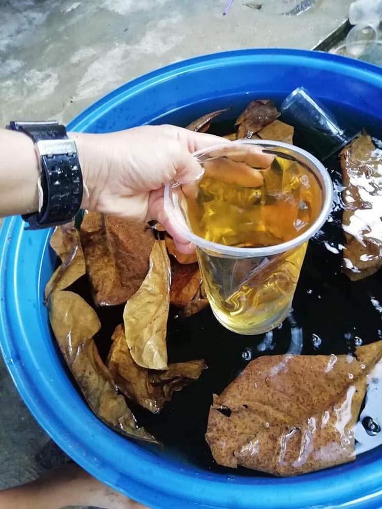 Crazy Shop Premium Grade Indian Almond Leaves Improve Comfort Water Balance for Betta Fish Aquarium Simulating Natural Aquatic (Large (100-Pc.)) by Crazy Shop (Image #5)