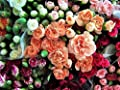 New RAINBOW CARNATION Mix Mixed Colors Dianthus Caryophyllus Flower 100+ Seeds