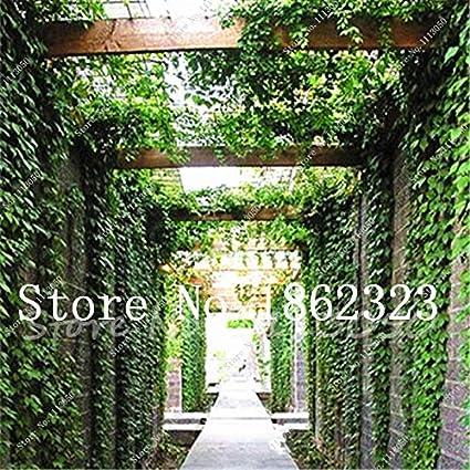 Pinkdose Venta caliente 100pcs plantas Boston Blue Ivy plantas de ...