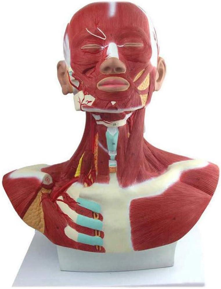 MKULOUS Músculo Humano Anatomía Modelo, Modelo de músculo de la Cabeza con Vaso sanguíneo e indicador Digital, para La Educación Médica