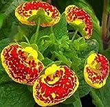 Slipper Flower Fashion Mix Seeds (Calceolaria Herbeohybrida) (50)