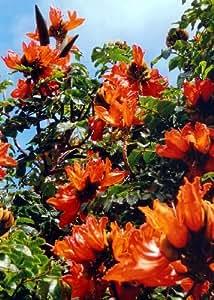 TROPICA - Tulipero Áfricano (Spathodea campanulata) - 30 Semillas