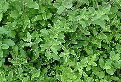 Heirloom Marjoram Herb Seed