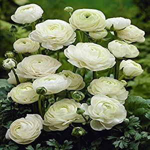 ranunculus asiaticus white 20 flower bulbs garden outdoors. Black Bedroom Furniture Sets. Home Design Ideas