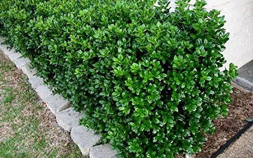 Dwarf Burford Holly Ilex Qty 20 Live Plants Evergreen Burfordi Shrub