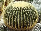 Echinocactus grusonii seeds (1000)